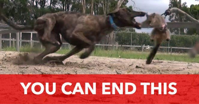 Greyhound Ban